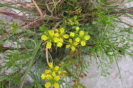Image of common rue