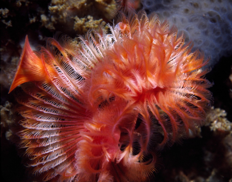 Image of Limy tube worm