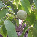 Image of Common walnut