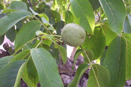 Image of Common walnut