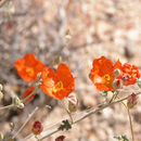 Image of desert globemallow