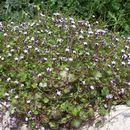 Image of Ivy-leaved Toadflax
