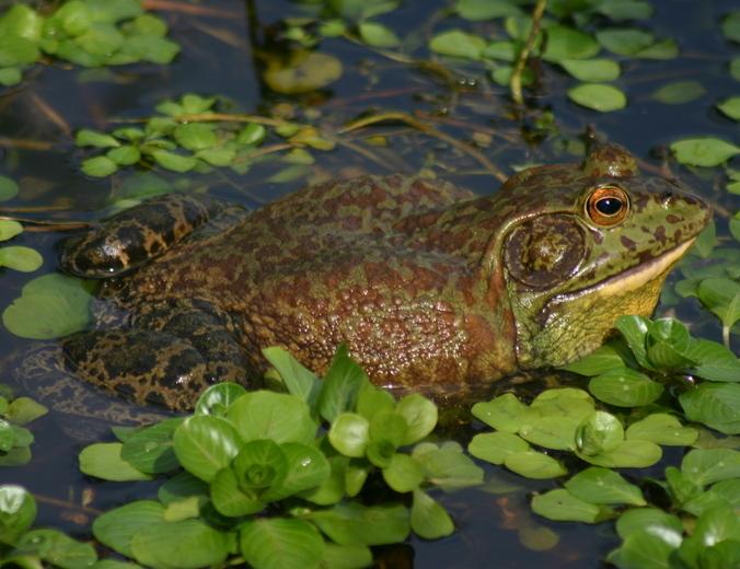 Image of American Bullfrog