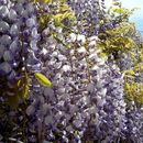 Image of Chinese wisteria