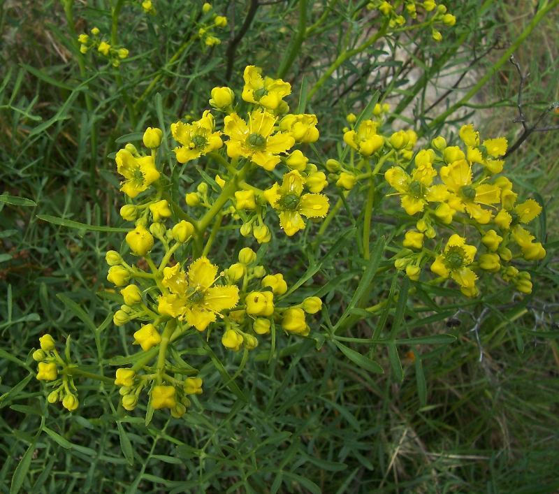 Image of fringed rue