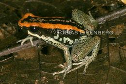 Image of Golfo dulce poison-dart frog