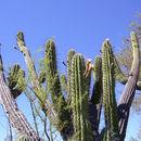 Image of <i>Stetsonia coryne</i> (Salm-Dyck) Britton & Rose