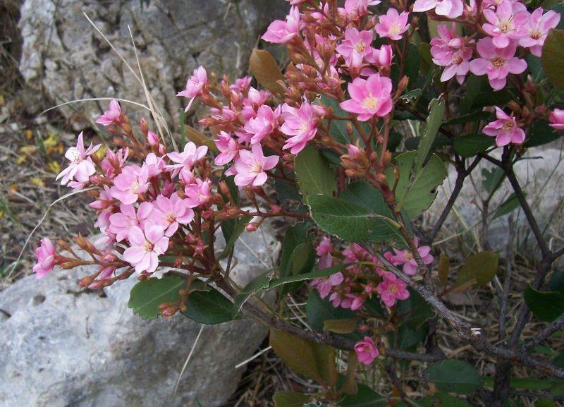 Image of <i>Rhaphiolepis indica</i> (L.) Lindl.