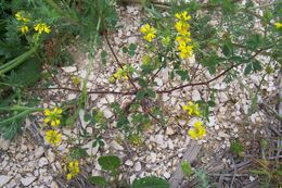 Image of cultivated fenugreek