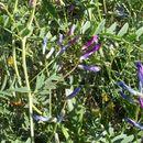 Image of <i>Vicia monantha</i> ssp. <i>triflora</i> (Ten.) B. L. Burtt & P. Lewis