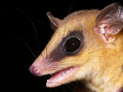 Image of Robinson's Mouse Opossum