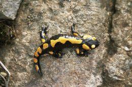Image of Fire Salamander