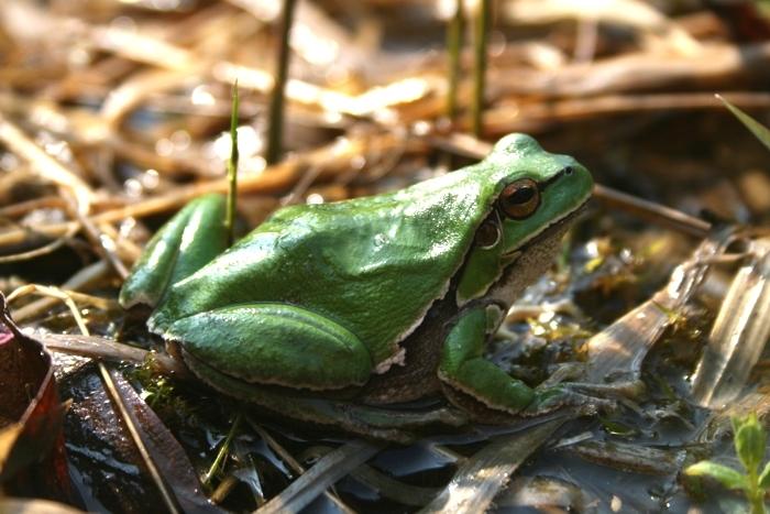 Image of European tree frog