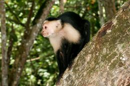 Image of white-faced capuchin