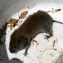 Image of Gray Red-backed Vole