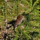 Image of Northern Red-backed Vole