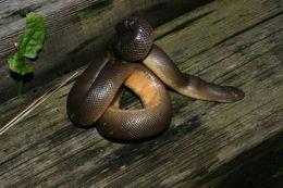 Image of rubber boa