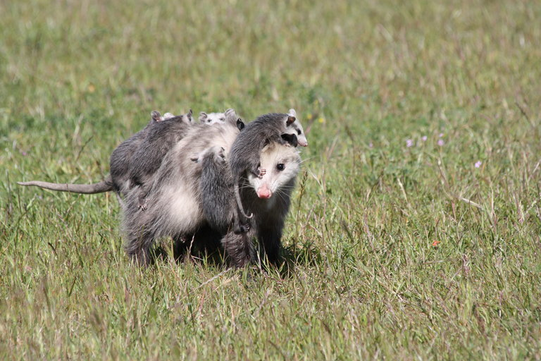 virginia opossum - Encyclopedia of Life