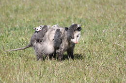 Image of Virginia Opossum
