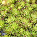 Image of parrot feather watermilfoil
