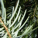 Image of Bristlecone Fir