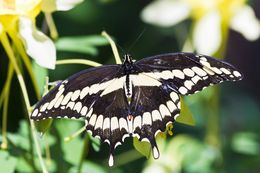 Image of Eastern Giant Swallowtail