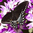 Image of <i>Papilio troilus</i> Linnaeus 1758
