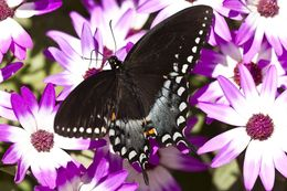 Image of Spicebush swallowtail