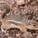 Image of Harris's antelope squirrel