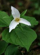 Image of <i>Trillium ovatum</i> Pursh