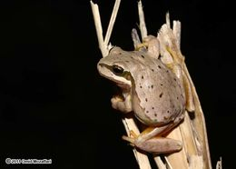 Image of Lemon-yellow tree frog