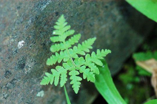 Image of Maxon's goldback fern