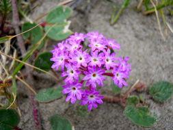 Image of Wild verbena