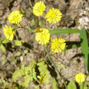 Image of <i>Youngia japonica</i> (L.) DC.