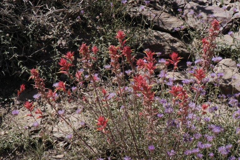Image of Wyoming Indian paintbrush