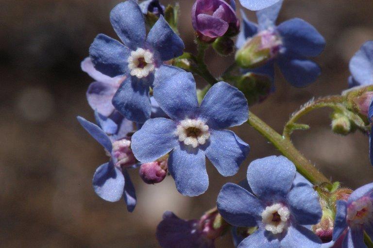 Image of velvet stickseed