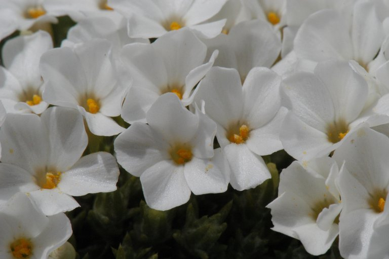 Image of Coville's phlox
