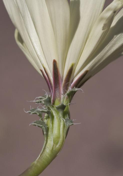 Image of holy dandelion