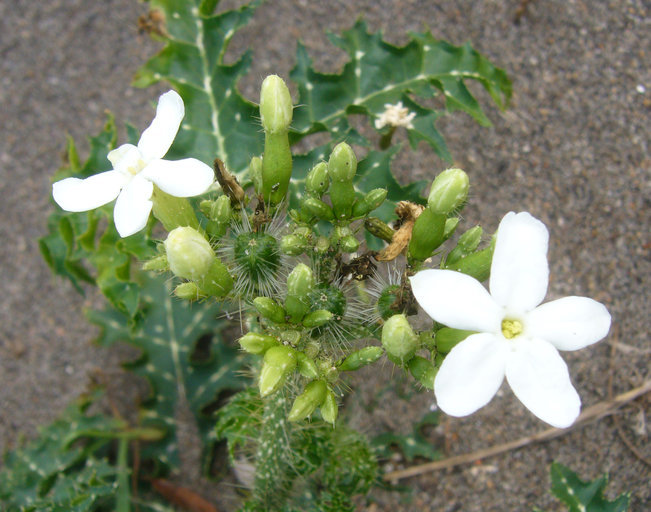 Sivun <i>Cnidoscolus texanus</i> (Müll. Arg.) Small kuva
