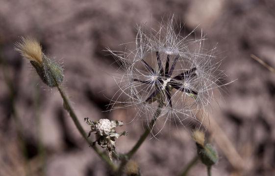 Image of yellow hawkweed