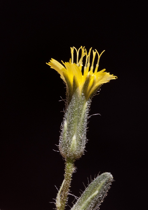 Image of yellow hawkweed