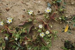 Image of slenderleaf iceplant