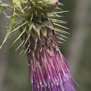 Image of Cainville thistle