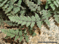Image of Parry's lipfern