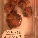 Image of <i>Colognathus obscurus</i> (Case 1928)