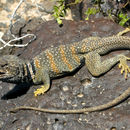 Image of Great Basin Collared Lizard