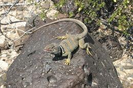 Image of Great Basin Collared Lizard
