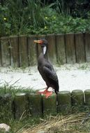 Image of Red-legged Cormorant