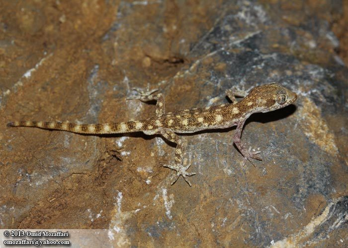 Image of Steudner's pygmy gecko