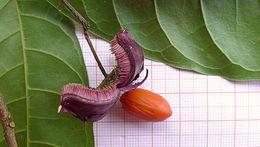 Image of <i>Sloanea garckeana</i> K. Schum.